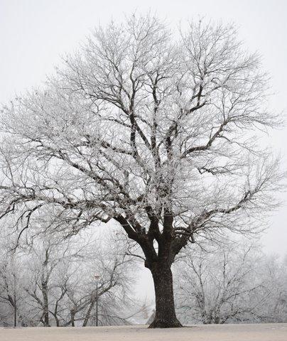 Oak Park trees